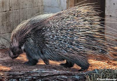 Photograph - Curious Porcupine  by Debra Forand