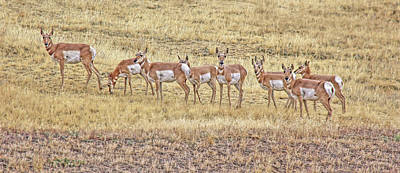 Photograph - Curious Pronghorn Antelopes Montana by Jennie Marie Schell