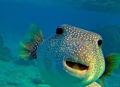 Photograph - Curious Pufferfish by Nan Hauser