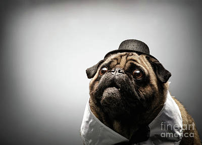Photograph - Curious Pug Dog In A Black Hat. by Michal Bednarek