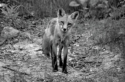Photograph - Curious Red Fox Black And White by Debbie Oppermann