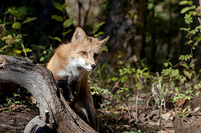 Photograph - Curious Red Fox by Jack Bell