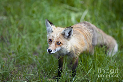 Photograph - Curious Red Fox by Keith Kapple