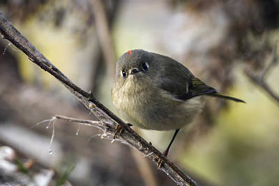 Photograph - Curious Ruby-crowned Kinglet by Liza Eckardt