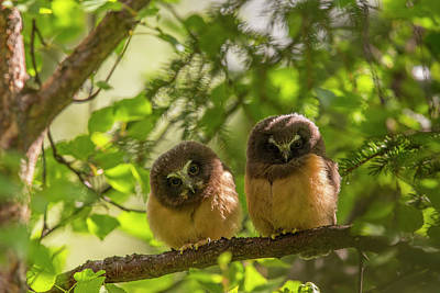 Northern Saw-whet Owl Photograph - Curious Saw-whet Owls by Tim Grams
