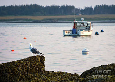Photograph - Curious Seagull, Kettle Cove, Cape Elizabeth, Maine  -66601 by John Bald