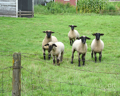 Photograph - Curious Sheep by Kathy M Krause