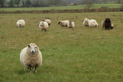 Photograph - Curious Sheep by Marie Leslie