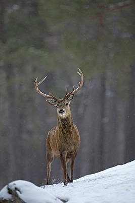Photograph - Curious Stag by Peter Walkden