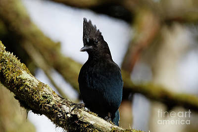 Photograph - Curious Stellers Jay by Sue Harper