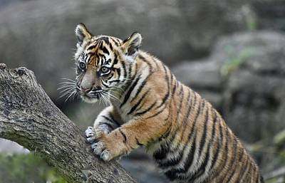 Photograph - Curious Sumatran Tiger Cub by Richard Bryce and Family