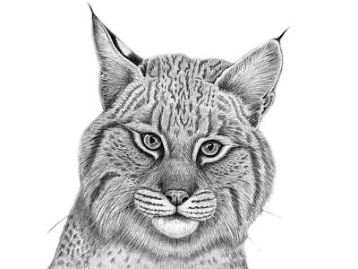 Bobcats Drawing - Curious by Tammy Liu-Haller