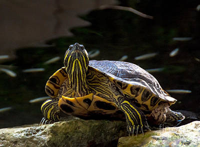 Photograph - Curious Turtle by Cheryl Baxter