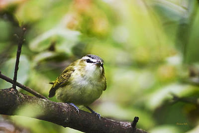 Photograph - Curious Vireo by Christina Rollo