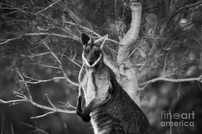 Curious Wallaby 2 Art Print by Naomi Burgess