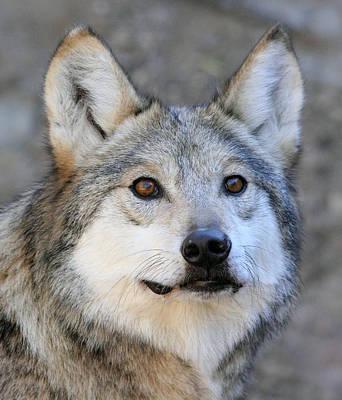 Curious Wolf Art Print by Elaine Malott