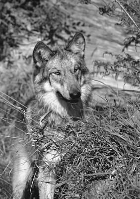 Photograph - Curious Wolf Pup by Shari Jardina