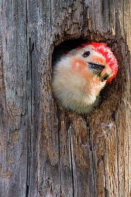 Photograph - Curious Woodpecker by Dawn Currie