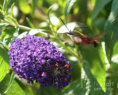 Animals Royalty-Free and Rights-Managed Images - Curled Proboscis - Clearwing Hummingbird Moth by Cindy Treger