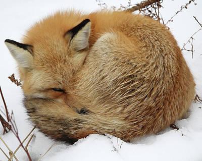 Curled Up Fox Art Print