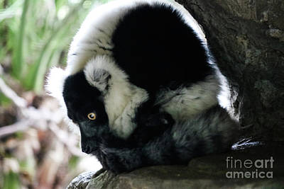 Photograph - Curled Up Lemur by Suzanne Luft