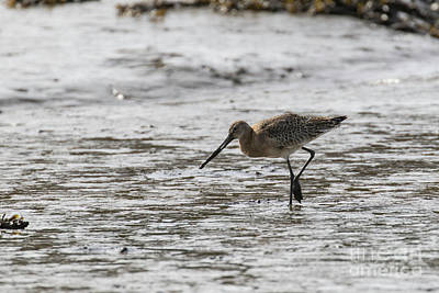 Photograph - Curlew by Brian Roscorla