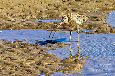 Photograph - Curlew Catch by Kate Brown