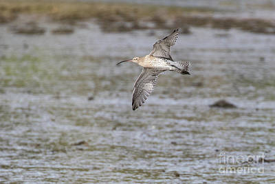 Photograph - Curlew In Flight by Brian Roscorla