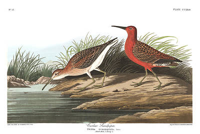 Sandpiper Wall Art - Painting - Curlew Sandpiper by John James Audubon