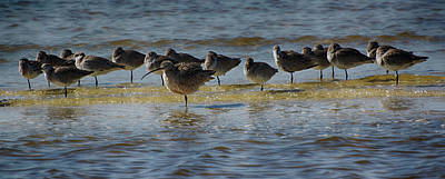 Long-billed Curlew Photograph - Curlew Standout by Don Columbus