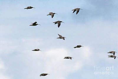 Photograph - Curlews In Flight 01 by Brian Roscorla