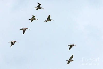 Photograph - Curlews In Flight 06 by Brian Roscorla