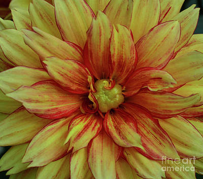 Photograph - Curls And Curls Dahlia by Debby Pueschel