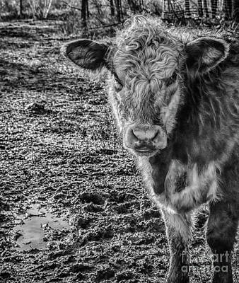 Photograph - Curly Cow by Bianca Nadeau