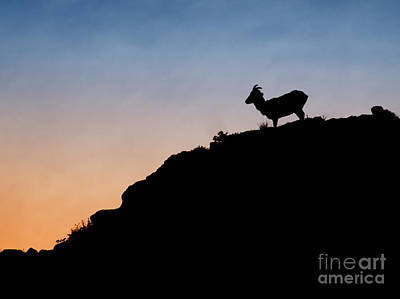 Photograph - Curly-horned Morning by Sonya Lang
