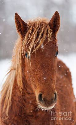 Curly Horse In Winter Art Print by Eric Chamberland