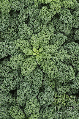 Kale Photograph - Curly Kale by Tim Gainey