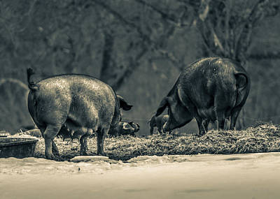 Photograph - Curly Tail Pigs by Bob Orsillo