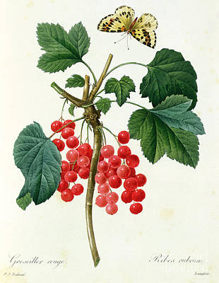 Fluttering Drawing - Currants  Red by Pierre Joseph Redoute