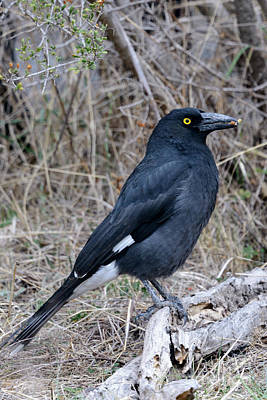 Photograph - Currawong 03 by Werner Padarin