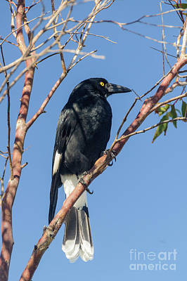 Currawong Art Print by Werner Padarin