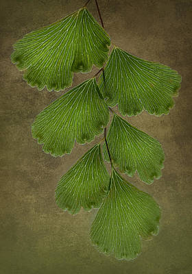 Photograph - Maidenhair Fern by Morgan Wright
