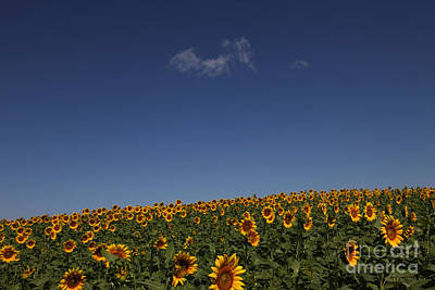 Sunflower Photograph - Curvature by Amanda Barcon
