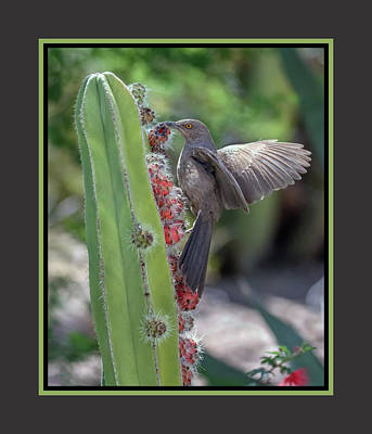Photograph - Curve-billed Thrasher 0635-051318-1cr-matte by Tam Ryan