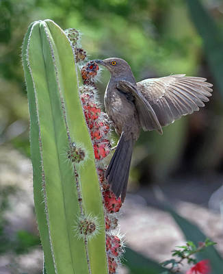 Photograph - Curve-billed Thrasher 0635-051318-1cr by Tam Ryan