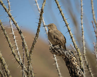 Photograph - Curve-billed Thrasher-img_241818 by Rosemary Woods-Desert Rose Images