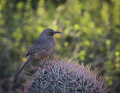 Photograph - Curve-billed Thrasher-img_261318 by Rosemary Woods-Desert Rose Images