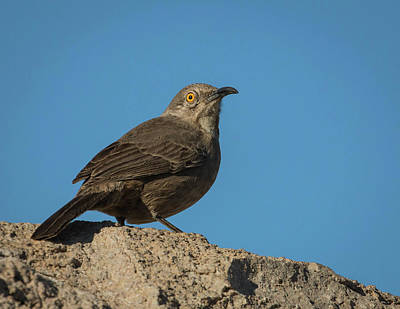 Photograph - Curve-billed Thrasher-img_487217 by Rosemary Woods-Desert Rose Images
