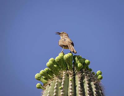 Photograph - Curve-billed Thrasher-img_650818 by Rosemary Woods-Desert Rose Images