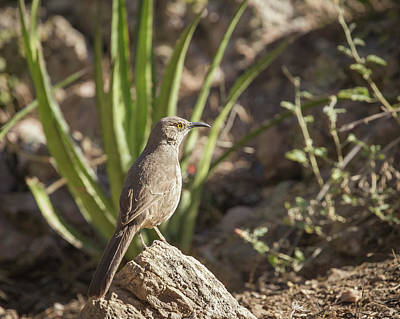 Photograph - Curve-billed Thrasher-img_715718 by Rosemary Woods-Desert Rose Images